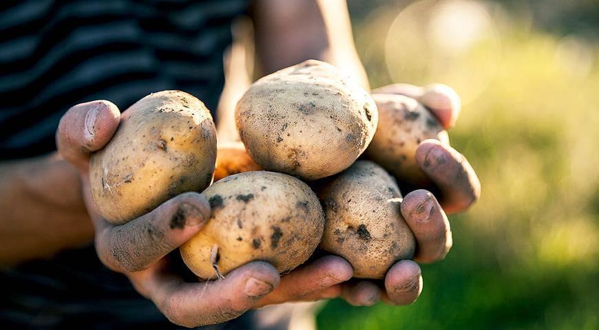Картофель лидер описание сорта фото отзывы