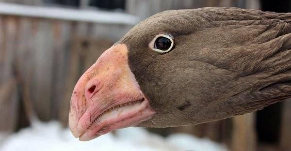Тульские гуси: бойцовая горбоносая порода (фото и видео)