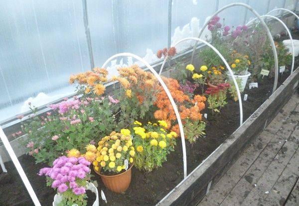 ✅ об уходе за хризантемой осенью, подготовка растения к зиме, сохранение - tehnomir32.ru