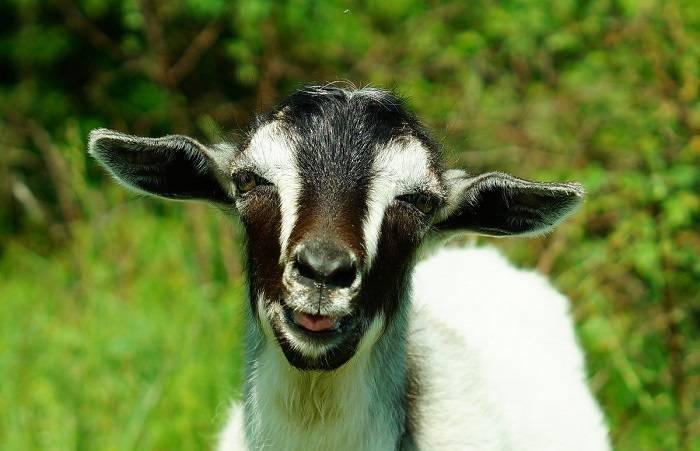Что делать, если у коровы нет жвачки