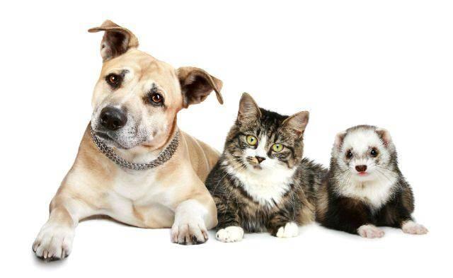 Как уживаются хорьки и кошки: особенности совместного содержания