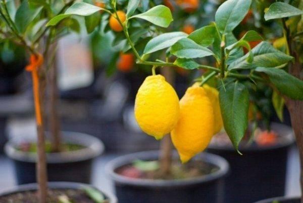 Как пересадить лимон: горшок для лимона, пересадка, когда нужно