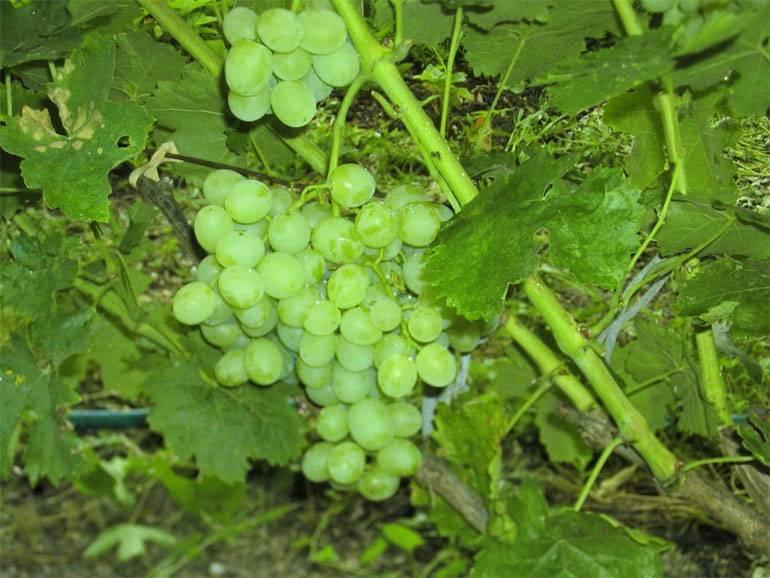 Виноград восторг: описание сорта, фото, отзывы, видео