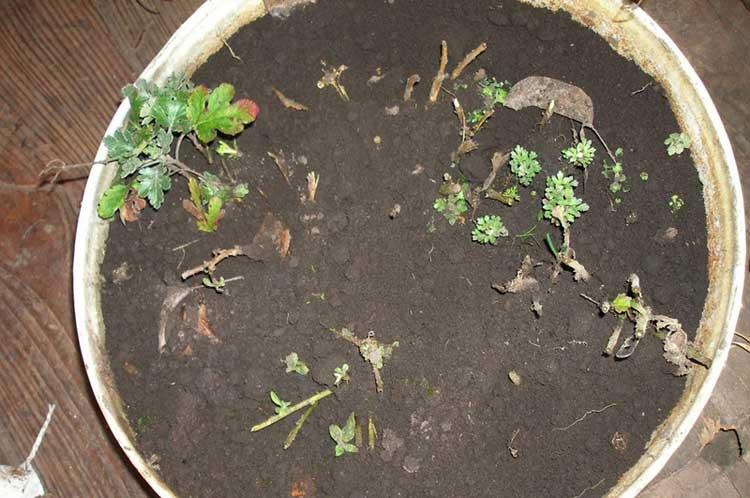 Как на зиму укрыть хризантемы. как сохранить хризантемы в разных климатических поясах
