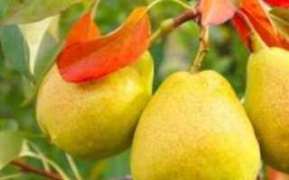 Кафедральная груша: описание сорта, когда созревает академическая, отзывы садоводов о выращивании и вкусовых качествах