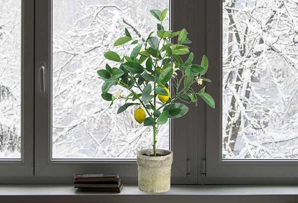 Как обрезать лимон в горшке в домашних условиях для плодоношения: как правильно сделать на комнатном дереве начинающим и когда, можно ли летом, нюансы ухода и фото