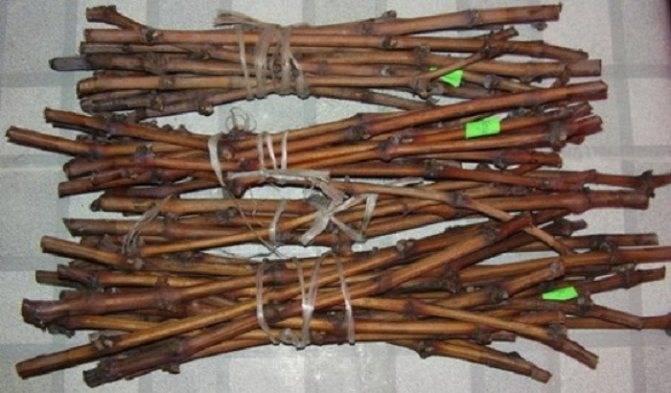 Как правильно сохранить зимой черенки винограда до весны в домашних условиях (в погребе), срезанные осенью