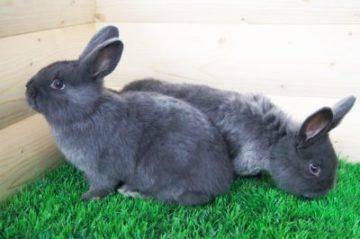 Характеристики венского голубого кролика