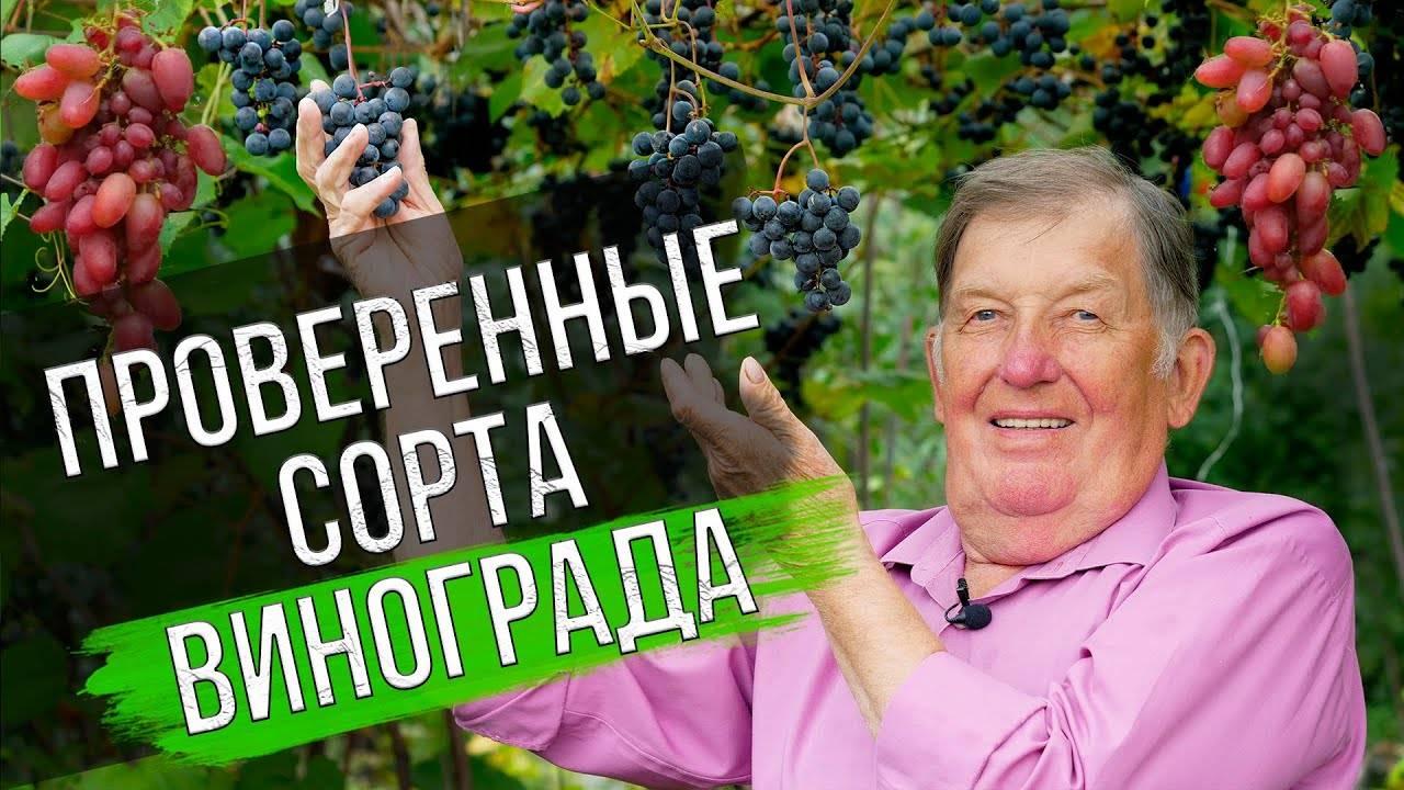 Виноград багровый: описание сорта, фото, отзывы