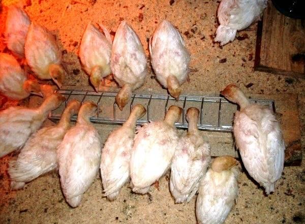 Кормление индюков в домашних условиях: нормы и рацион питания