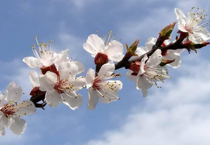 Как посадить абрикос: схемы посадки, в том числе выбор места на участке, особенности в регионах