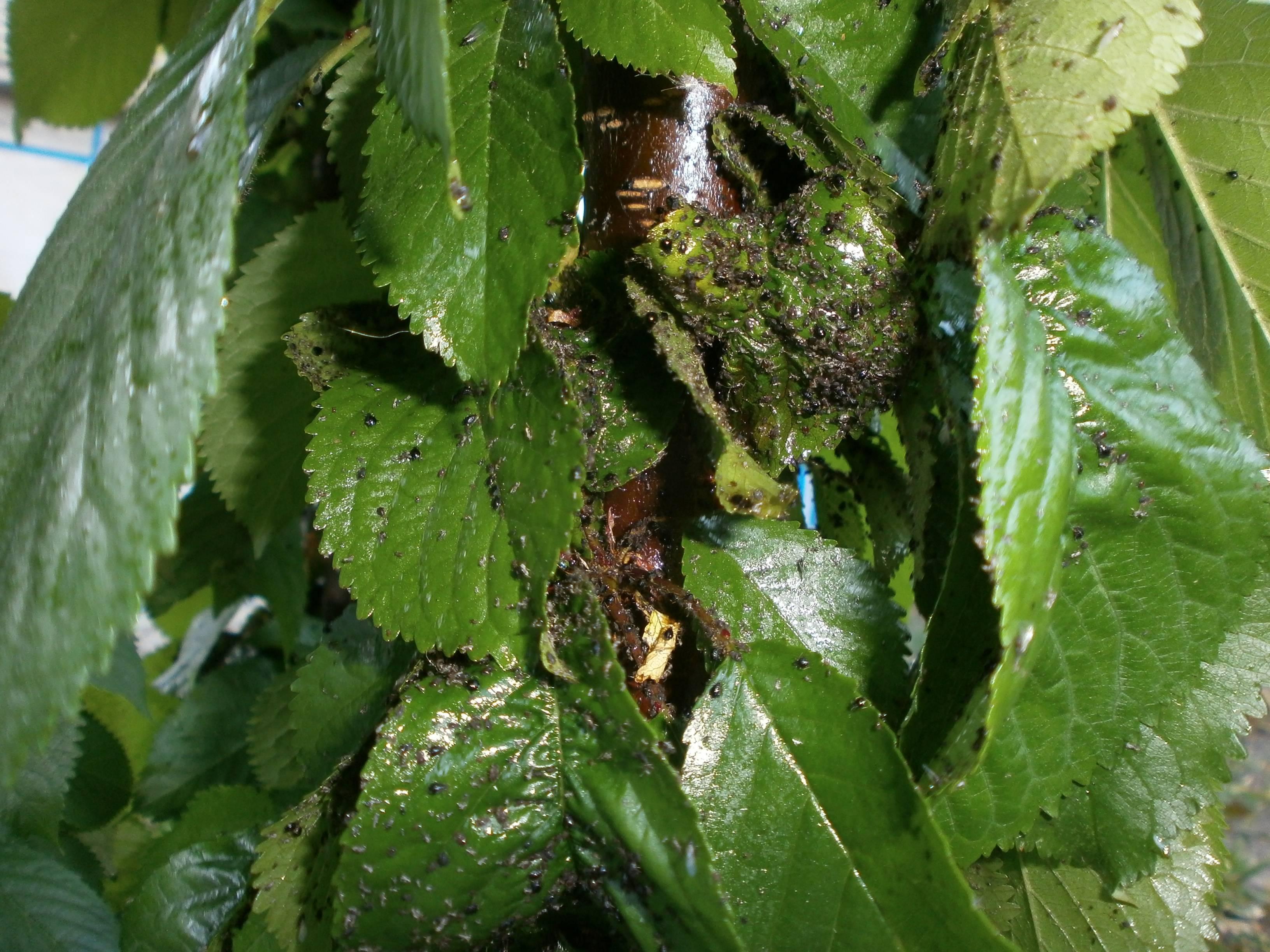 Как избавиться от вредителей на черешне: боремся с тлей и гнилями черешни. как и чем обработать черешню? - секреты садоводов