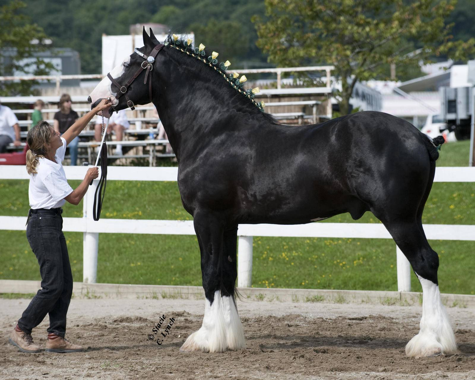 Белорусская упряжная лошадь: описание породы и специфика содержания