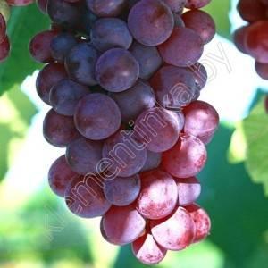 Виноград минский розовый: описание преимуществ сорта