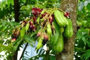 Огуречное дерево — описание, виды, специфические особенности ухода и выращивания
