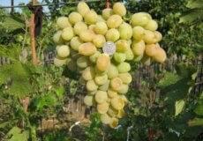 Виноград спонсор описание сорта фото отзывы. виноград «спонсор» — белый столовый гибрид