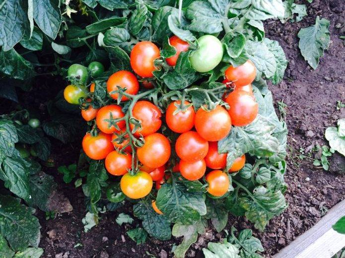 Непасынкующийся томаты: характеристика и описание сортов с фото