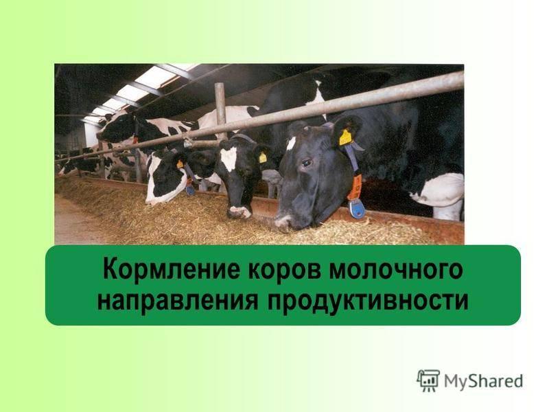 Система нормированного кормления стельных сухостойных коров в зимний период
