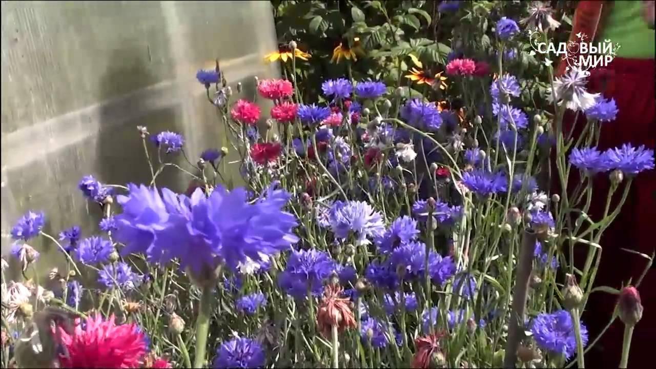 Василек садовый