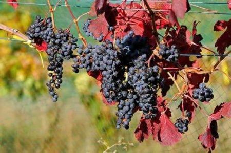 Левокумский виноград: описание сорта
