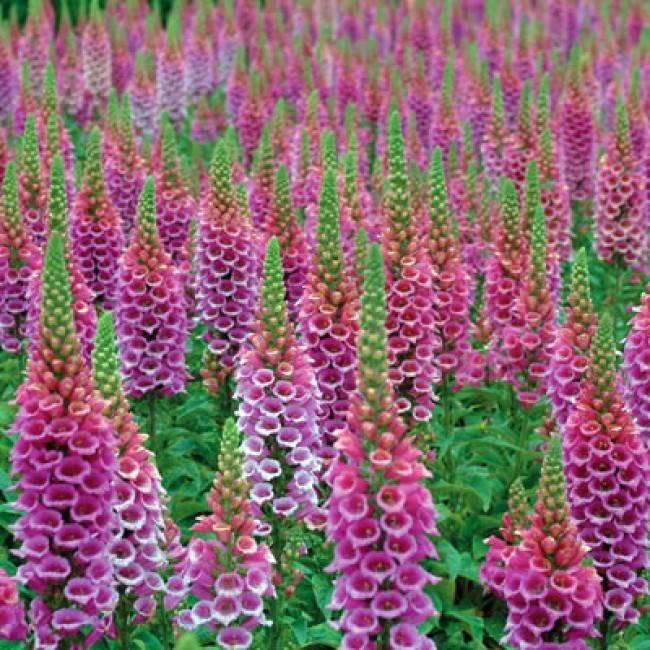 Наперстянка многолетняя: выращивание из семян, посадка и уход в открытом грунте, фото, сочетание в ландшафтном дизайне