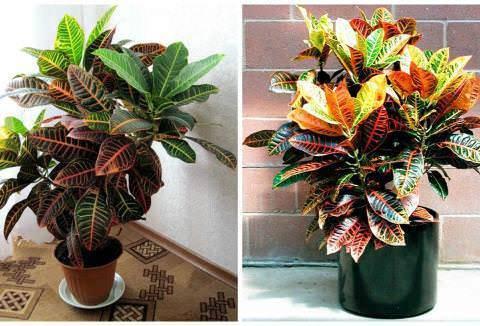 Кротон (100+ фото): выращивание и уход в домашних условиях