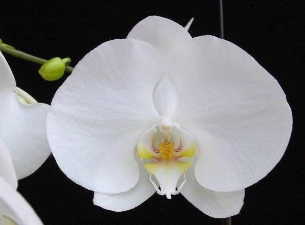 Выращивание орхидеи в домашних условиях- уход, полив, пересадка и размножение