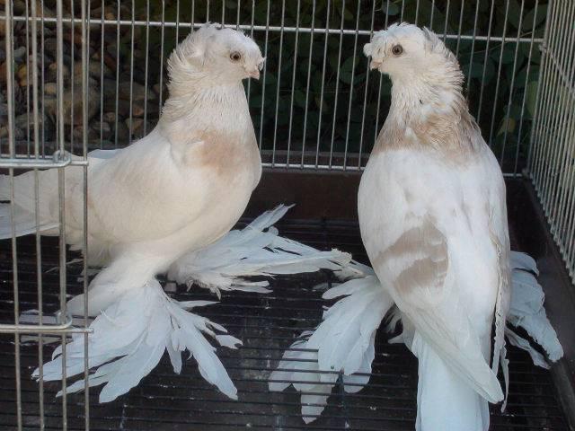 ᐉ голуби капканы описание породы - zoomanji.ru