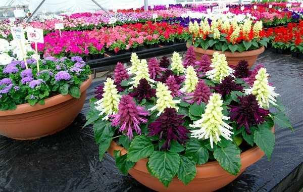 Сальвия — выращивание из семян. как получить хорошую рассаду. фото — ботаничка.ru