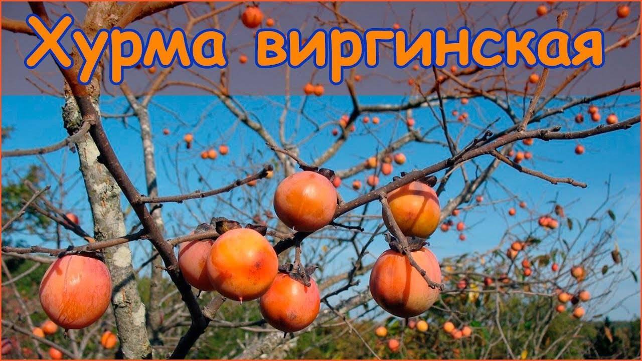 Хурма в средней полосе: ее реально можно вырастить! на supersadovnik.ru