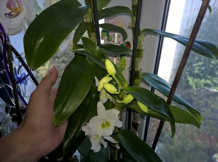 Орхидея дендробиум нобиле: уход в домашних условиях, размножение, что делать, после того, как она отцвела, фото