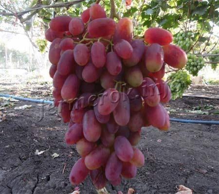 Виноград преображение: фото и описание сорта