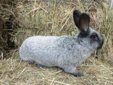 Кролики калифорнийской породы: описание, разведение и уход