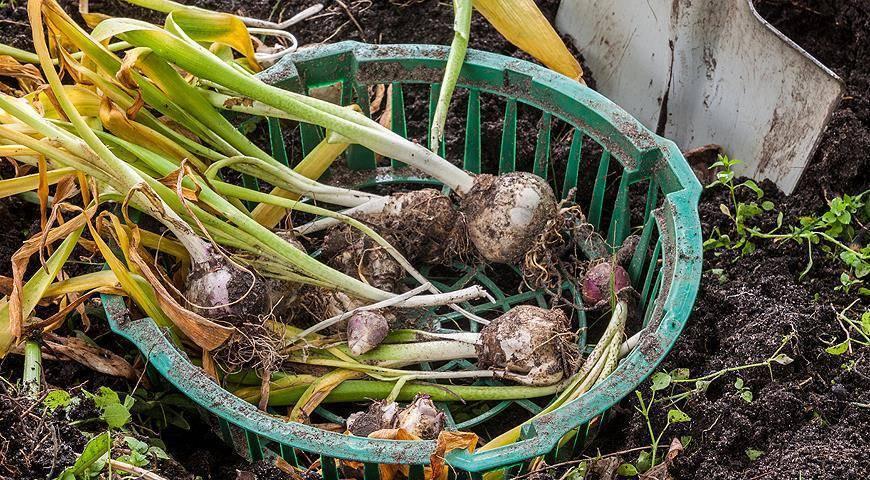 Тюльпаны отцвели: что дальше, когда выкопать луковицы, как размножаются