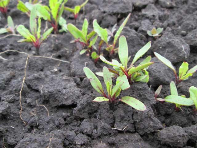 Когда сажать свеклу: в какое время можно сеять, важны ли сроки возделывания семян в открытом грунте, как обеспечить правильное выращивание овоща и хороший урожай? русский фермер
