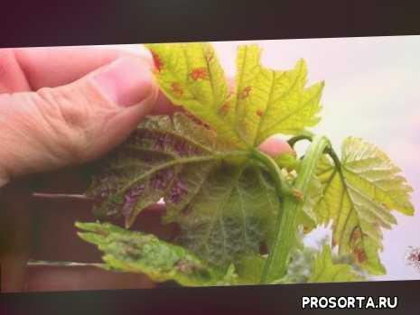 Клещ паутинный на винограде: как бороться с паразитом
