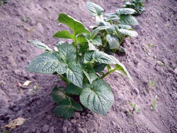 Какие удобрения вносить весной под картофель?