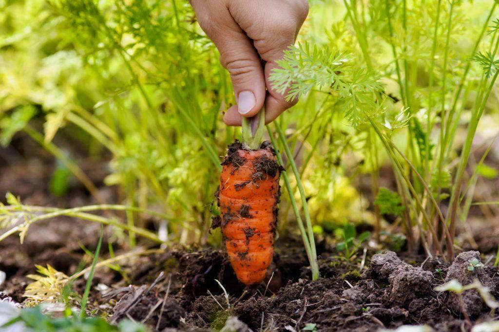 Как правильно прореживать морковь в открытом грунте