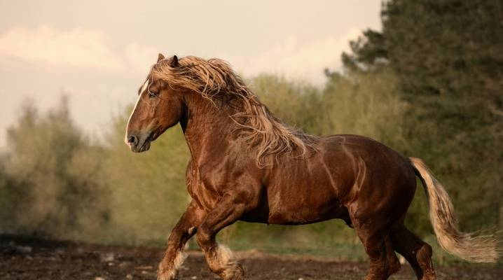 Лошадь-тяжеловоз (55 фото): характеристика советской, бельгийской, французских и других пород тяжеловесов. какой средний вес у коней? как правильно воспитывать маленьких жеребят этой породы?