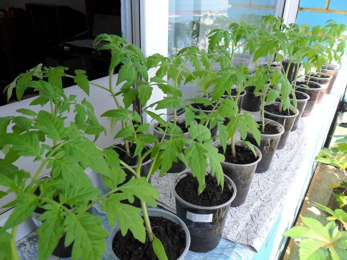 Что делать при перерастании рассады помидоров: какие меры следует принять