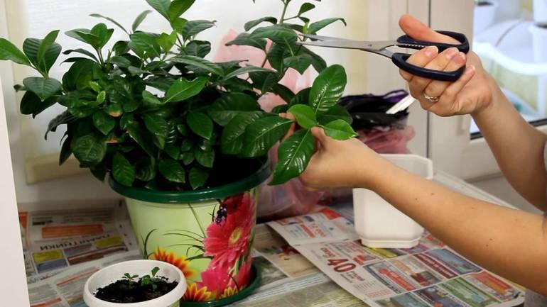 Как рассадить жасмин делением куста. жасмин, размножение жасмина черенками