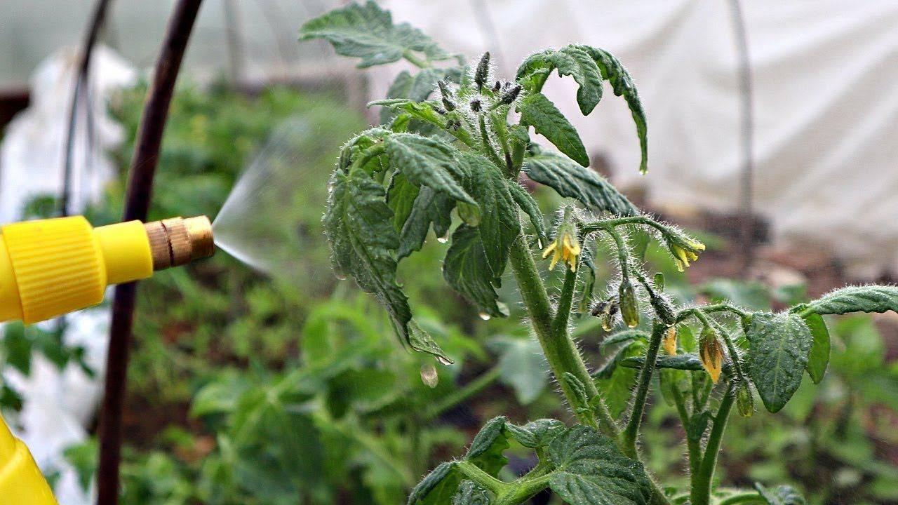Подкормка рассады томатов и перца нашатырным спиртом