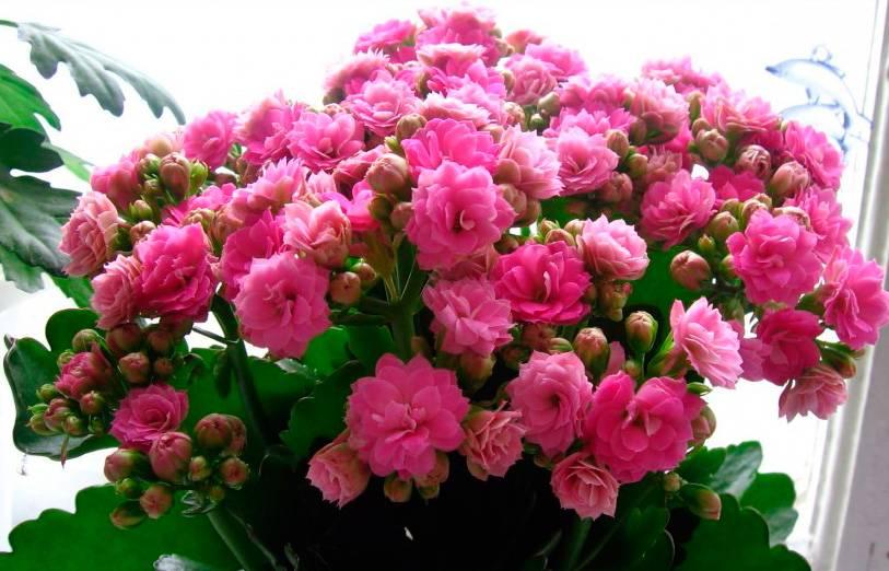 Фото разных видов и цветов каланхоэ — посадка растения, уход