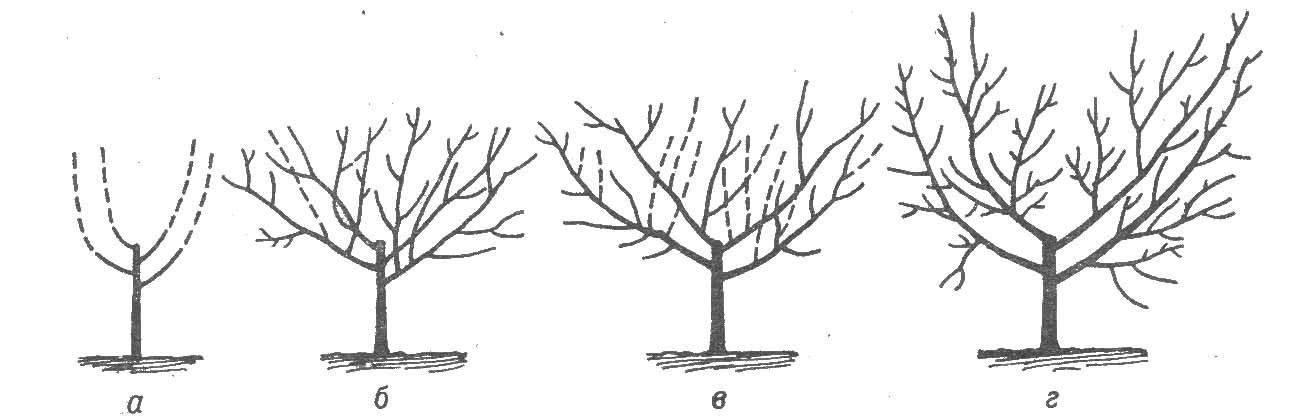 Обрезка сливы осенью: сроки, схема и руководство для начинающих в картинках пошагово, подкормка, уход, подготовка к зиме