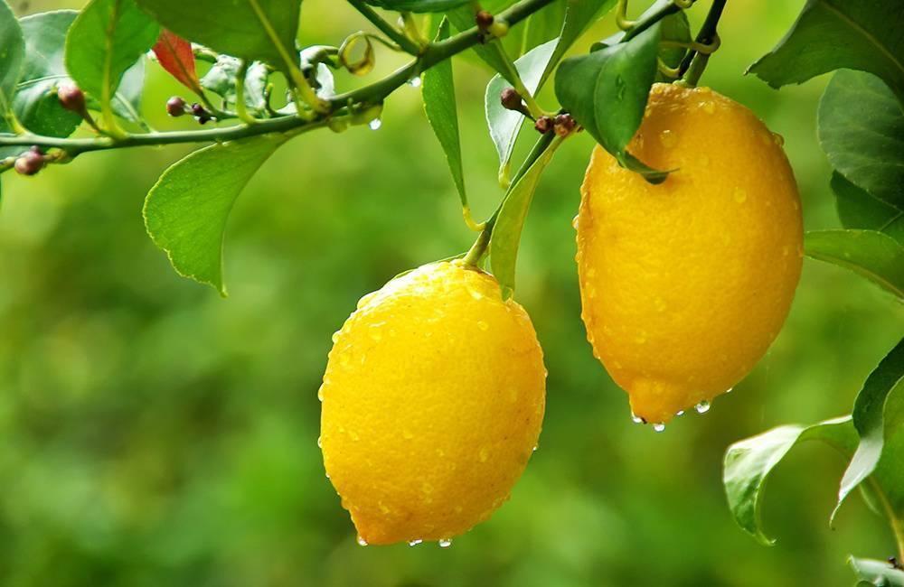 ᐉ лимон ташкентский уход в домашних условиях - zooshop-76.ru