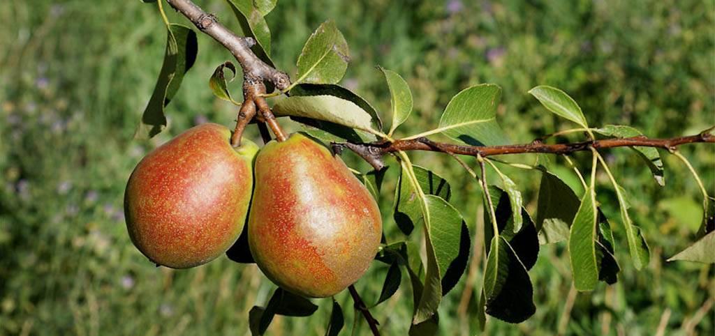 Самые вкусные сорта груш: фото и характеристика