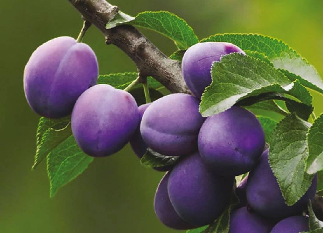 О сливе яичная синяя: описание сорта, особенности опыления, агротехника выращивания