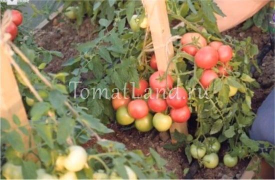 Выращивание помидоров по маслову – увеличение урожая в 8 раз: описание метода, особенности подготовки почвы и семян томатов, а также инструкция по посадке и уходу