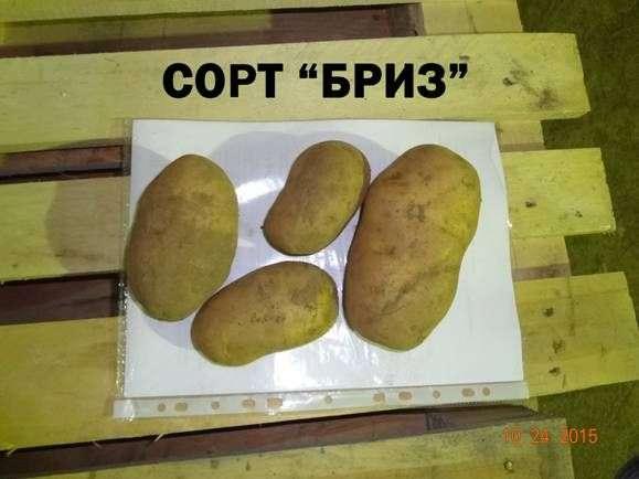 Картофель бриз: описание сорта, характеристика, фото