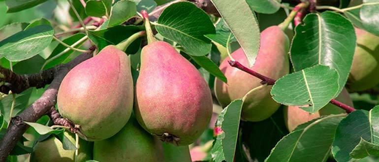 Лучшие сорта яблони для черноземья с описанием, характеристикой и отзывами, а также особенности выращивания в данном регионе